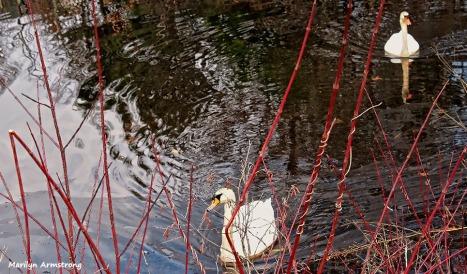 72-swans-mar-030816_002