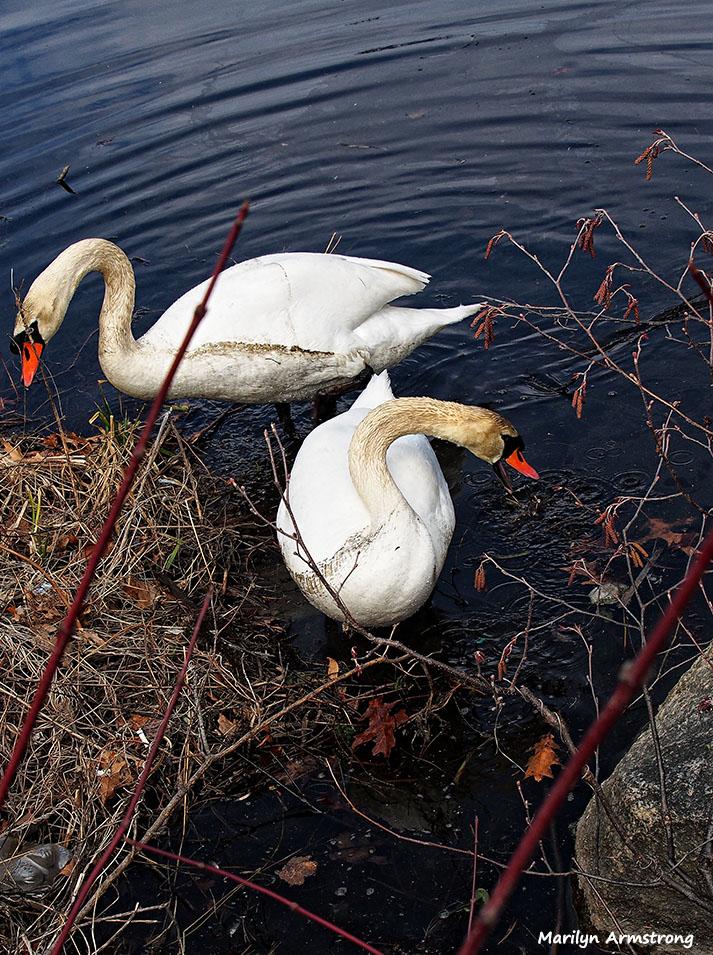 72-swans-mar-030816_014