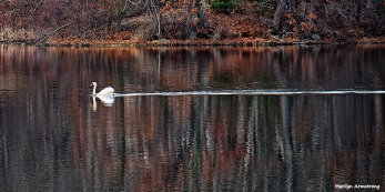 72-swans-mar-030816_029