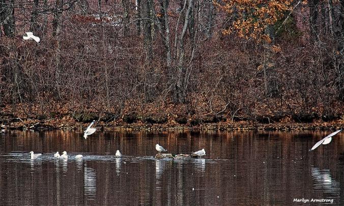72-swans-mar-030816_032