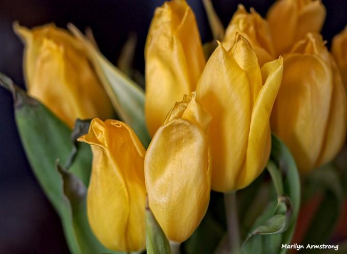 72-tulips-macro-031916_01