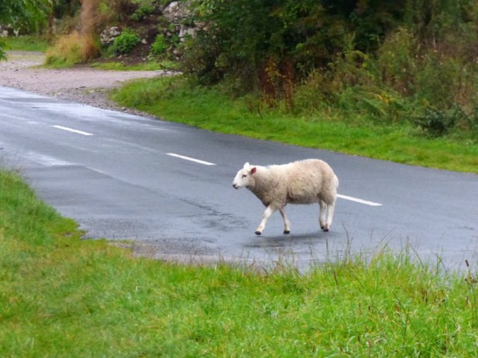 sheep crossing road