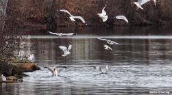 72-birds-swans-close-new-030816_050
