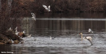 72-birds-swans-close-new-030816_054