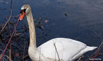 72-closeup-swan-new-030816_016