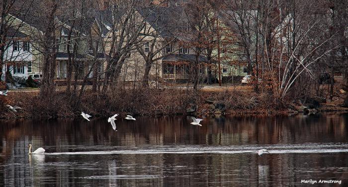 72-swans-mar-030816_038