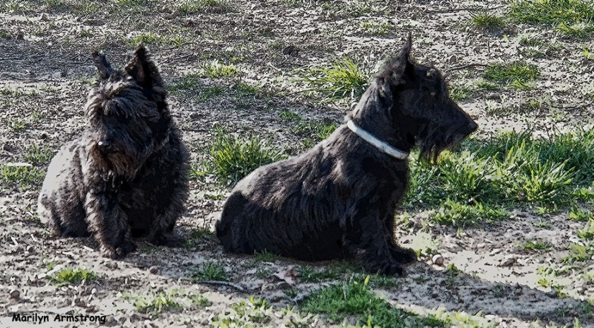 72-two-scotties_1