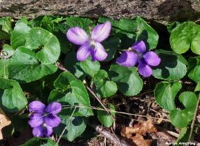 72-Violets-Garden-042016_09