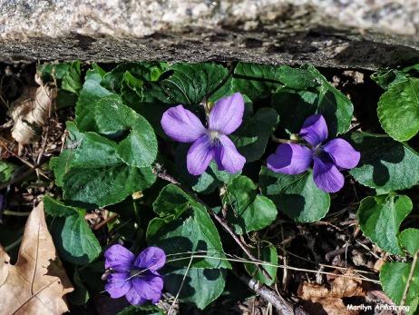 72-Violets-Garden-042016_20