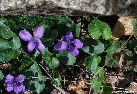 72-Violets-Garden-042016_21