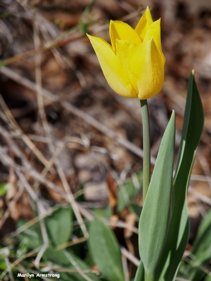 72-yellow-tulip-042116_05
