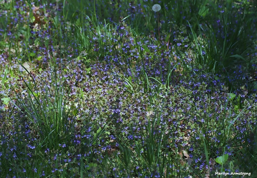 72-blue-meadow-051216_041