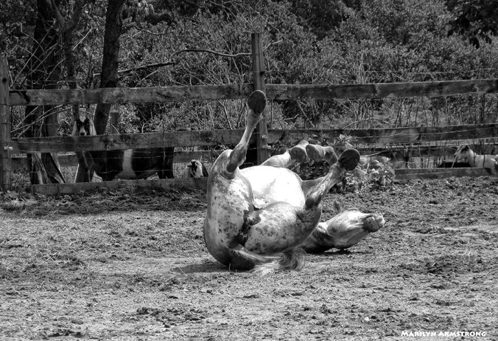 72-BW-Percheron-Rolling_15