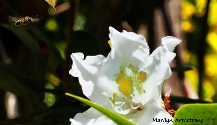 72-closeup-bee-incoming-macros-051216_006