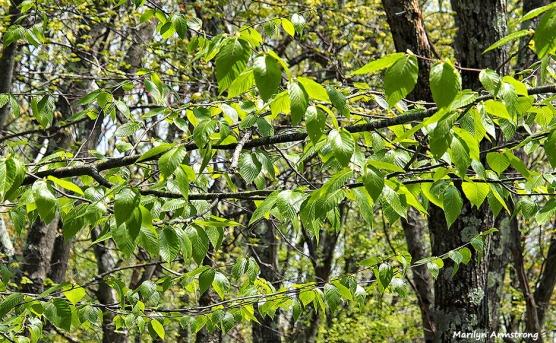 72-closeup-green-oaks051216_007