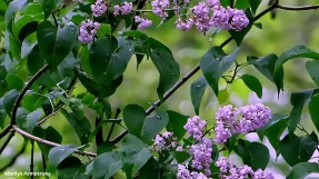 72-Lilacs-052216_036