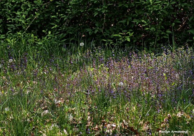 72-meadow-051216_052