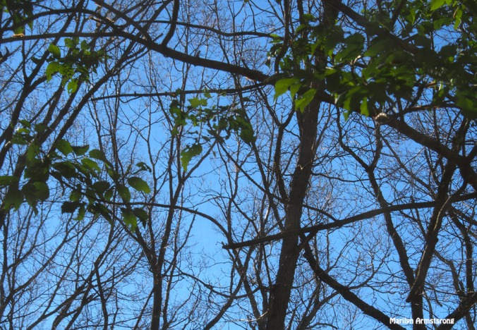 72-bare-trees-061516_04