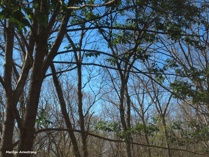 72-bare-trees-w-catalpa-061516_06