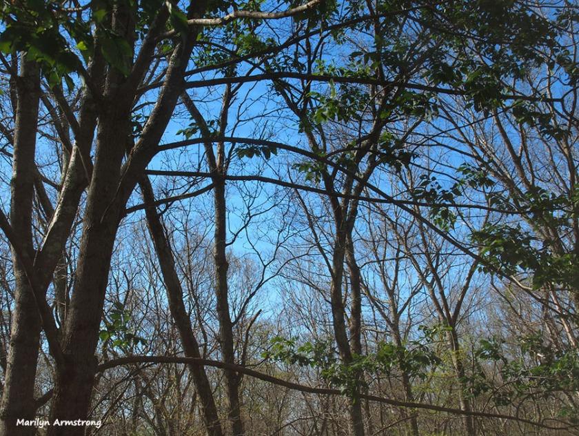 72-bare-trees-w-catalpa-061516_06
