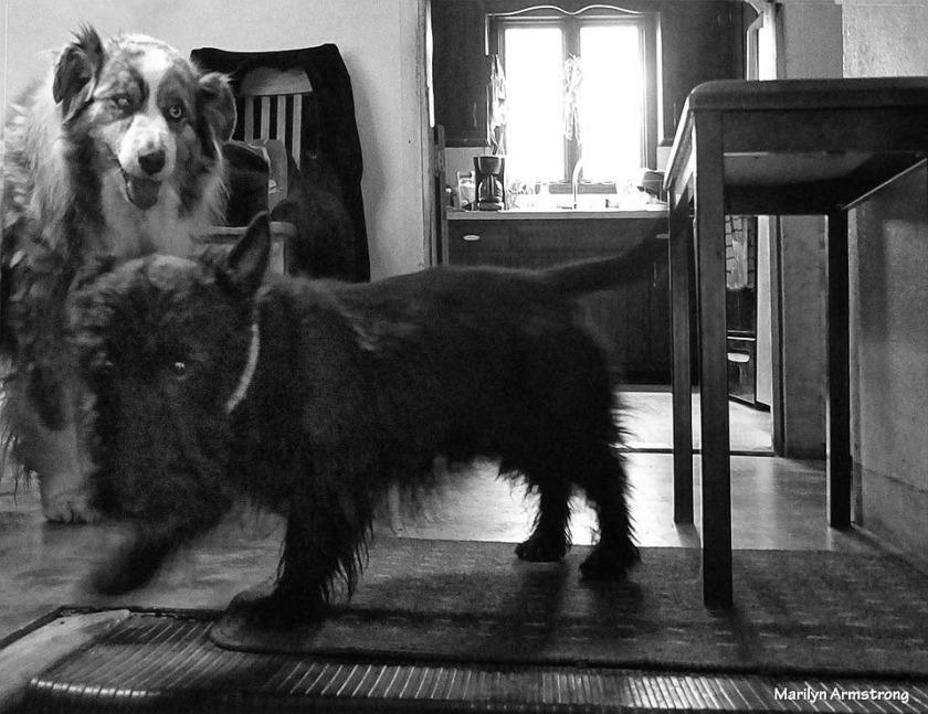 72-BW-Play-Dogs-Oddballs-052216_50
