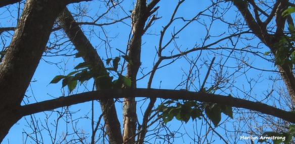 caterillars-catalpa-bare-trees-061516_05