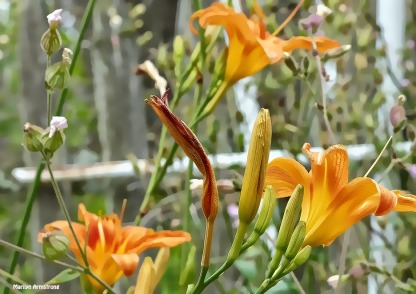 72-Day-Lilies-June-Garden-062716_019