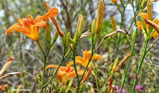 72-Day-Lilies-June-Garden-062716_020