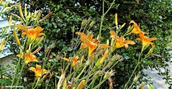 72-Day-Lilies-June-Garden-062716_024
