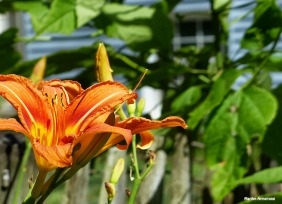 72-Day-Lily-Summer-Solstice-062116_26