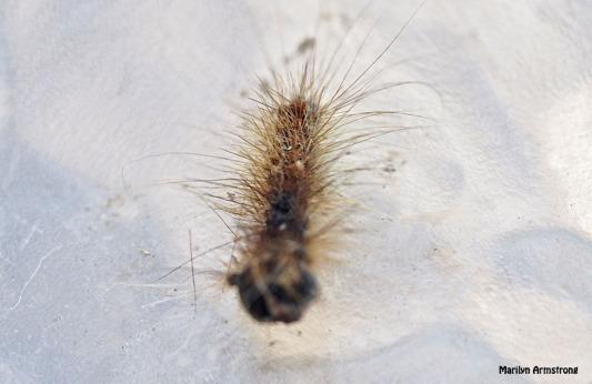 72-dead-caterpillars-062616_039