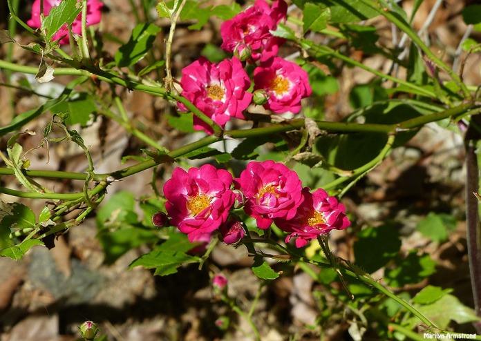 72-Hedge-Roses-Summer-Solstice-062116_31