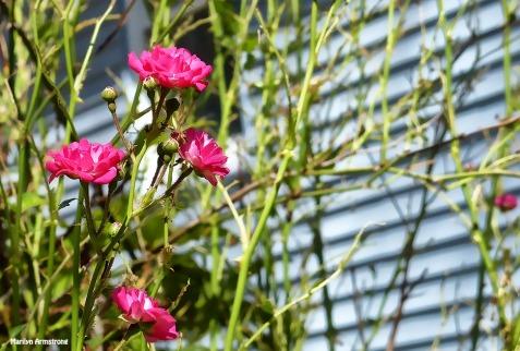 72-Hedge-Roses-Summer-Solstice-062116_33