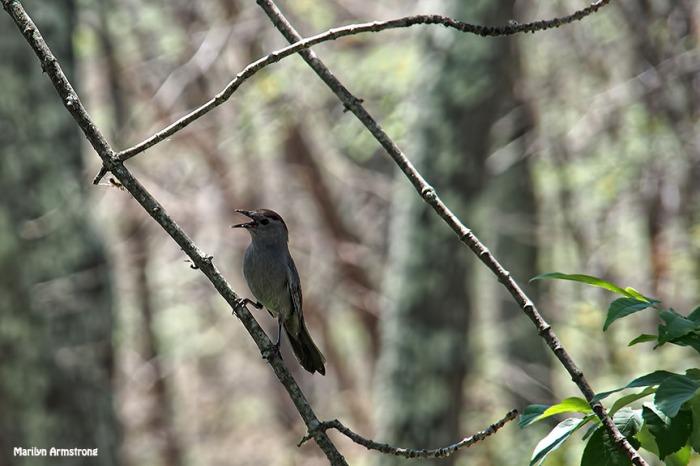 72-junco-bird-062616_018