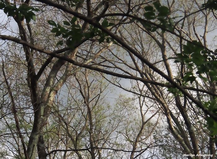 72-oak-post-gypsy-moth-060816_01b