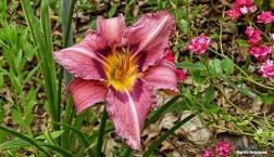 72-Pink-Lily-June-Garden-062716_023