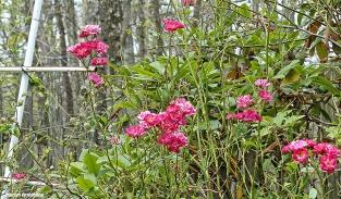 72-Roses-June-Garden-062716_007