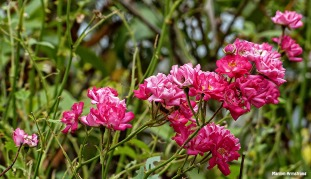 72-Roses-June-Garden-062716_018