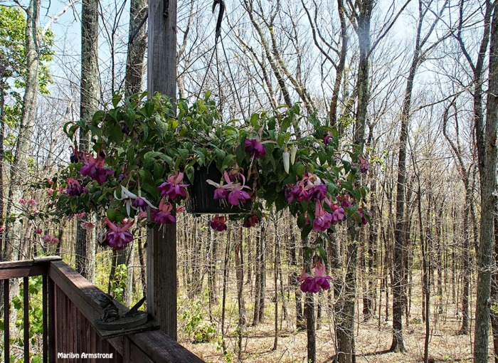 72-woods-fuchsia-062616_035