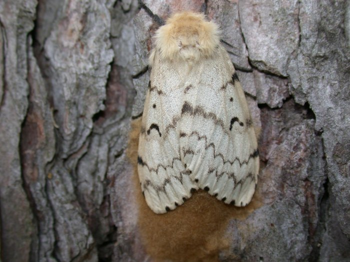 gypsy moth adult