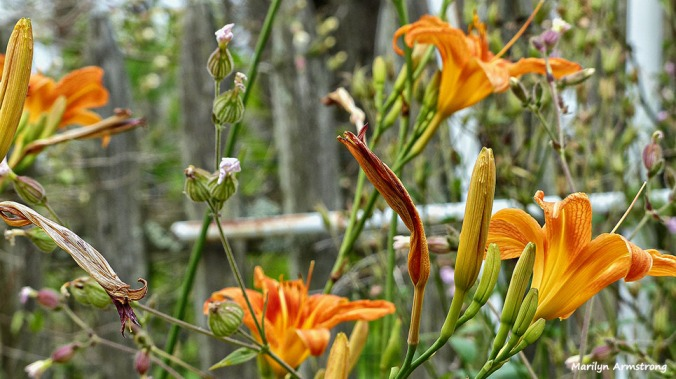 72-Day-lilies-new-June-Garden-062716_019