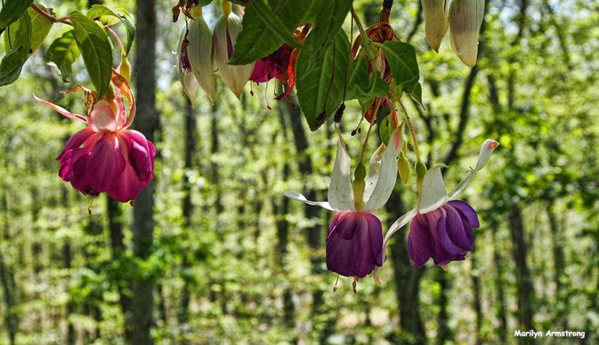 72-fuchsia-changing-seasons-072116_14