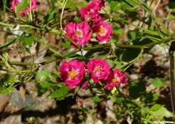 72-Hedge-Roses-Summer-Solstice-062116_31