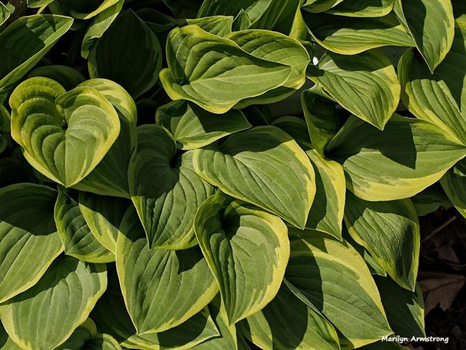 72-hosta-garden-macro-051216_030