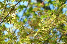 New leaves on our Japanese maple tree