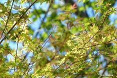 72-Jap-Maple-New-Leaves-071316_02