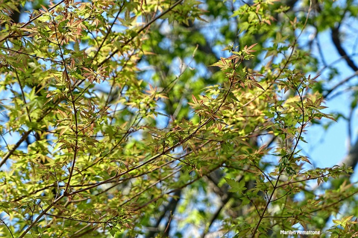 72-Jap-Maple-New-Leaves-071316_05