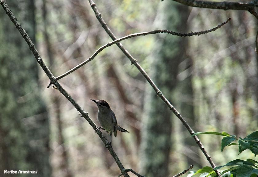72-junco-bird-062616_019