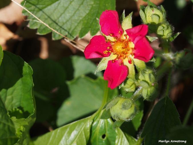 72-wild-strawberry-garden-macro-051216_027