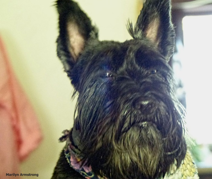 72-Bonnie-SCOTTIES-080316_13